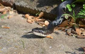 snake hers in maryland by hannah grove
