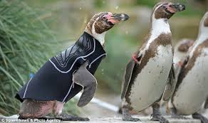 featherless penguin. Delighful Penguin Ralph The Penguin Gets Ready For A Swim To Featherless Penguin H