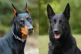 Doberman Growth Chart Female Doberman Vs German Shepherd Which Dog Is Better Allshepherd