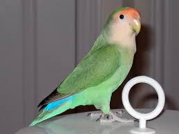 Lovebird Color Mutations Chart Rosy Faced Lovebird Colour Genetics Wikipedia
