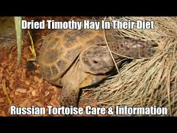 Russian Tortoise Diet The Importance Of Dried Timothy Hay