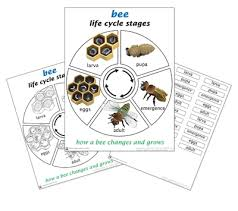 Life Cycle Of A Bee Printed