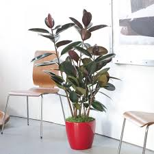 office pot plants. Office Pot Plants. View In Gallery Rubber Plant A Red Plants N