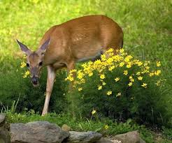 how to keep deer away from garden. how to keep deer away from garden soup menu