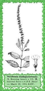 Buddlejaceae in Flora of Pakistan @ efloras.org
