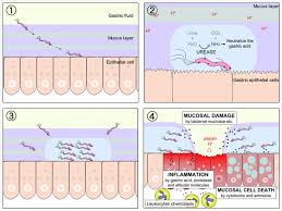 mucus ion regulation