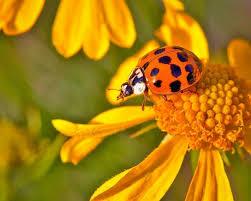 good vs bad ladybugs in your garden