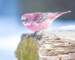 rosefinch - Twitter Search