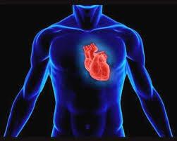 Строение сердца урок Биология Человек класс  сердце1 jpg