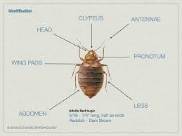 Small Brown Bugs In Bedroom Cimex Lectularius Anatomy Google Search Tesis Chinches