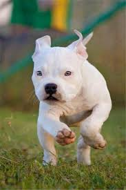 white pitbull terrier puppies. Exellent Terrier Discover Ideas About White Pitbull Puppies  Throughout Terrier Puppies T