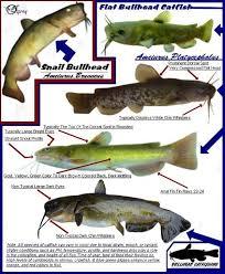 Snail Bullhead Flat Bullhead Identification Chart Blue