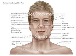 face anatomy surface anatomy of the face and skin medical stock images company