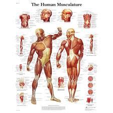 Human Musculature Chart
