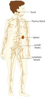 Lymphatic System And Immune System Medical Terminology For
