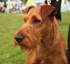 This Is An Irish Terrier With A Different Haircut I Love