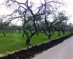 Ace Of Spades HQDormant Fruit Trees