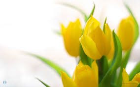 Image result for yellow flower white background