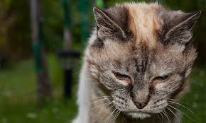 Image result for Picture of a cat in pain