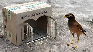Bird Cage Trap Design Diy House Myna Bird Trap Building House Myna Bird Trap Using Paper Box