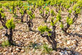 Vineyards Near Chateauneuf-du-Pape, Provence, France Stock Photo, Picture  And Royalty Free Image. Image 99605100.