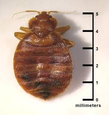 things to get rid of bed bugs bed bugs size how to get rid of bed