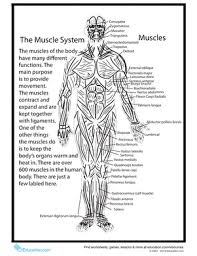 Click on the labels below to find out more about your muscles. Human Anatomy Muscles Worksheet Education Com