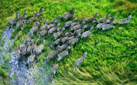 Mac Os X Retina Zebras Mac Wallpaper ...