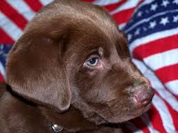 chocolate golden retriever. Exellent Chocolate Chocolate Golden Retriever Puppies FileChocolate Lab PuppyJPG Wikimedia  Commons With C