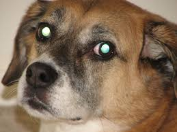 Image result for why dogs eyes glow