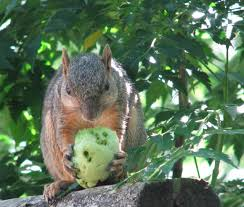 if you have ever tried to grow a few tomatoes here in metro atlanta then you probably know how grateful the squirrels are for the easy handout
