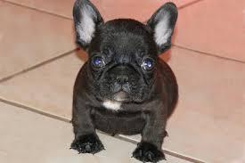 black french bulldog puppy. Fine French Black Brindle French Bulldog Puppy For Sale  Micro Machine X Gabby  Carries Blue  Brads Bullies Chocolate LIlac U0026 English Bulldogs For G
