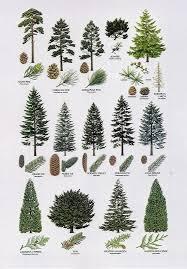 Douglas Fir Growth Chart Douglas Fir Versus Western Hemlock Types Of Pine Trees