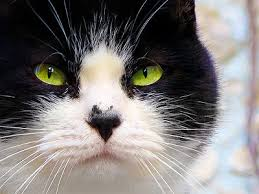 Image result for black and white cat with Green Eyes Jigsaw Puzzle