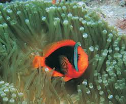 Book Excerpt Clownfishes A Guide To Their Captive Care