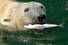sharks that eat polar bears whalereports shark nearly chokes to  what do polar bears eat polar bears polar bears also like to eat fish