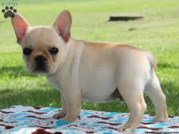 cute french bulldog puppy images and pictures french bulldog puppies for in english bulldogs and french bulldogs breeder phoenix tucson arizona