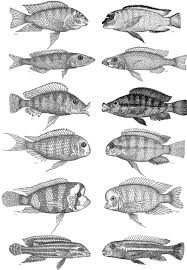 Cichlids Exhibit Remarkable Evolutionary Convergence