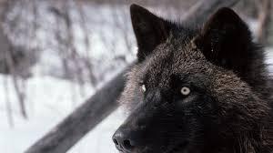 black wolf wallpaper 1920x1080. Delighful Black Black Wolf Widescreen Inside Wallpaper 1920x1080 L