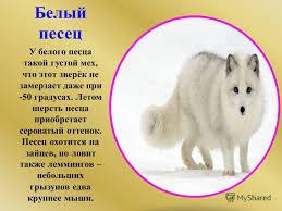 Презентация на тему Животные Арктики Арктика доклад для детей  3 Белый