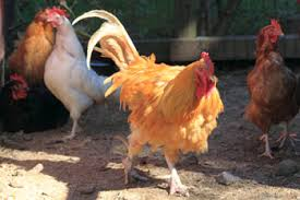 real farm animals chickens. Beautiful Animals Rooster With Flock Of Chickens On Real Farm Animals Chickens
