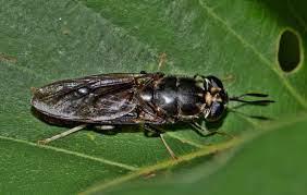รูปภาพ : ธรรมชาติ, ใบไม้, แมโคร, ชีววิทยา, สัตว์ป่า,  สัตว์ไม่มีกระดูกสันหลัง, ใกล้ชิด, กีฏวิทยา, สิ่งมีชีวิต, ใบปลิว,  การถ่ายภาพมาโคร, สัตว์ขากรรไกร, แมลงปีกแข็ง, บินแมลง, ด้วงใบ, insectoid,  ข้อผิดพลาดที่แท้จริง, บินทหารสีดำ, แมลงสีดำ, hermetia ...