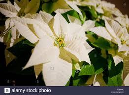Weiße Pflanze Weihnachtsstern Euphorbia Pulcherrima