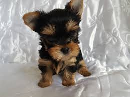 max breed teacup yorkshire terrier