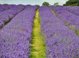 Image result for ickleford lavender