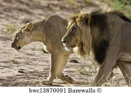 lioness hunting. Plain Lioness Lion Male And Lioness Hunting With Lioness Hunting U