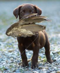chocolate lab duck. Contemporary Duck MMKennelscom Chocolate Lab Puppy Retrieving A Bird Wing On Chocolate Duck H