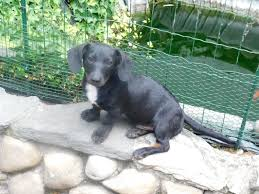 old english bulldog rassehunde seite 13 haustier anzeiger lampertheim hessen hofheim mittelgroße hunde kaufen verkaufen mannheim haustier anzeiger