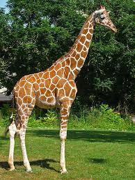 pictures of a giraffe. Contemporary Pictures Image Source In Pictures Of A Giraffe
