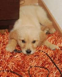 how to clean dog urine from a wool rug by deborah stephenson daily puppy preparation in advance is essential for the day when your dog leaves a puddle on